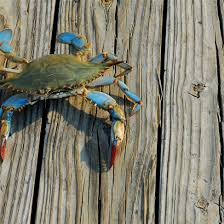 Md Crab Size Chart Maryland Blue Crabs