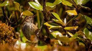 Fernbird/mātātā: Wetland birds