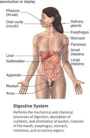 digestive system and how it works digestive system google search digestive system images and how