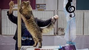 CFA International Cat Show 2018 - Maine Coon kitten class judging.Set 1 -  YouTube