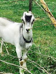 Raising Lamancha Goats What You Need To Know Lady