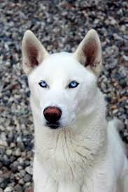 pure white husky with blue eyes. Unique Husky White Husky With Beautiful Blue Eyes Inside Pure Husky With Blue Eyes