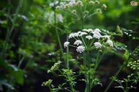 protecting your dog from the most poisonous plant in britain