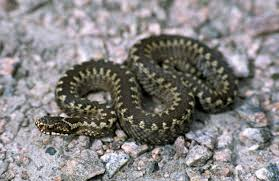 Enter the answer length or the answer pattern to get better results. Viper Snake Britannica