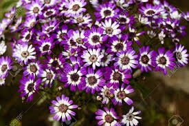 Cineraria is the main winter-spring season of flowering plants Stock Photo  - 15830974