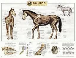 Equine Anatomy Chart
