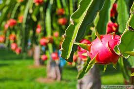 Dragon Fruit Bud On A Tree Stock Image  Image 32195401Dragon Fruit On Tree