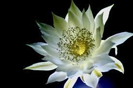 Night Blooming Cereus Cactus Pics4learning