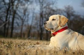 decorating christmas tree labrador retriever puppy in yard on sunseton green background stock image