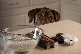 Chocolate Toxicity In Dogs Annandale Animal Hospital