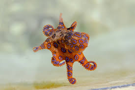 baby octopus images