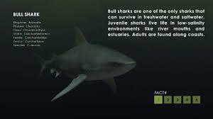 bull shark facts on vimeo
