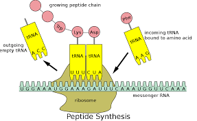 Transfer RNA - Wikipedia
