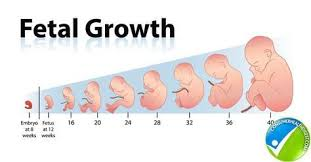 Pregnancy Growth Chart Week By Week How Fetal Length And Weight Can Be Measured With Fetal