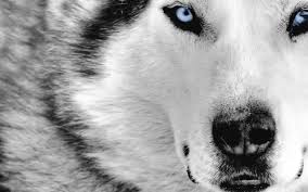 black wolf with red eyes blue e wolf wolf dogs s