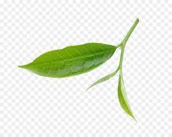 fresh tea leaves. Modren Fresh Tea Leaf Download  Fresh Tea Leaves Throughout Leaves A