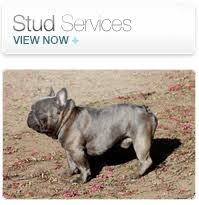we offer professional reble and reliable bulldog stud service we are very experienced in collection handling and shipping