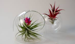 Air Plants doubled in Clear Glass Containers