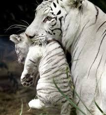 baby white tiger.  Tiger Hold A Baby White Tiger  Bucket List Ideas In
