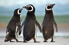 penguins a falklands photo essay org per nk