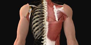 See anatomy of the head and neck stock video clips. Muscles Of The Back Anatomy Snippets Complete Anatomy