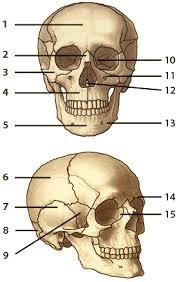 Skull Diagram Quiz Get Rid Of Wiring Diagram Problem