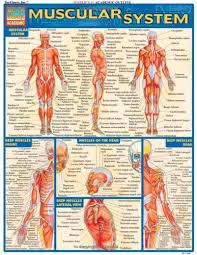Pdf Download Muscular System Laminate Reference Chart
