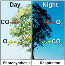 Image result for trees respiration