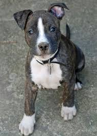 terrier pitbull mix puppies. Contemporary Terrier Bull Terrier Pitbull Mix Dog  2 Cute Puppies Dogs Inside Terrier Pitbull Mix Puppies Pinterest
