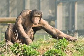 Russian ape woman monkey news