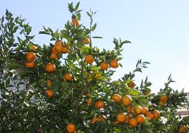 satsuma orange frost a new texas superstar should expand the planting zone for citrus