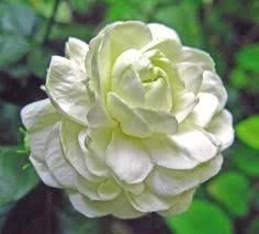 Image result for images of jasmine flower