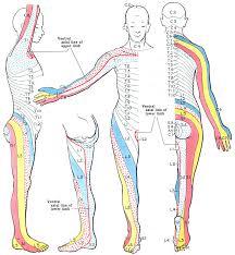 Leg Wikipedia Dermatome Anatomy Wikipedia