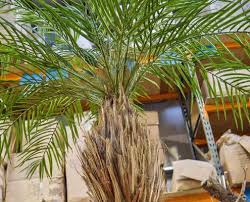 Any height, any style, species Artificial Palm Trees, Preserved Palms Made To Specification