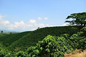 A Guide To Growing Healthy Coffee Trees Perfect Daily Grind