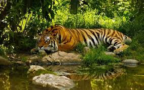 tiger wallpaper high resolution.  Resolution A Sad Tiger In The Jungle  Download High Resolution Wallpaper With Tiger F