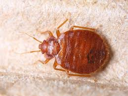 bedbug you really don t want these tiny blooders living in your sheets here s the diy way to get rid of them photo smith1972 shutterstock