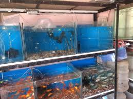 angel fish aquarium photos tilak chowk belgaum aquariums