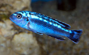 Electric Blue Johanni Melanochromis Johannii Johanni