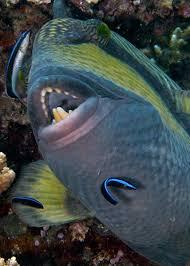 triggerfish bite. Perfect Triggerfish Titan Triggerfish Teeth For Bite H