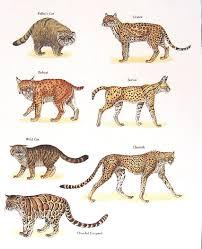 ocelot size pallas cat bobcat wild cat cheetah ocelot mysunshinevintage