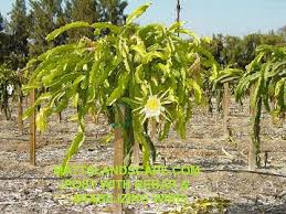 Growing Dragon Fruit In Carnarvon  Agriculture And FoodHow To Take Care Of Dragon Fruit Tree