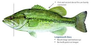 Bass Species Chart Fishing Species Oklahoma Department Of Wildlife Conservation