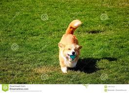 Corgi Dog Running With A Ball Stock ...