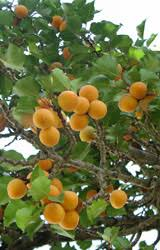 Grow Full Size Fruits In A Fraction Of The Area With Bonsai TreesSmall Orange Fruit On Tree