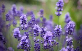 วอลเปเปอร์ : สีม่วง, สวย, ปลูก, ดอกไม้ป่า, พฤกษศาสตร์, โรงงานที่ดิน,  พืชดอก, ภาษาอังกฤษลาเวนเดอร์ 1920x1200 - CoolWallpapers - 599363 -  วอลเปเปอร์ hd - WallHere