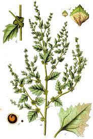 Atriplex rosea - Wikipedia
