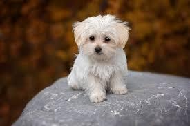 0796 - maltese dog wallpaper