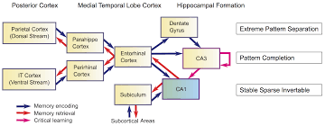 figure 42 hippocampal memory formation showing how information is encoded and retrieved the critical learning takes place in the ca3 collateral