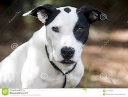 Pointer Bulldog Mixed Breed Mutt Dog ...